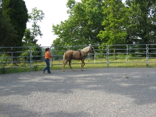 Ground driving a horse in one of the two 60' round pens available.